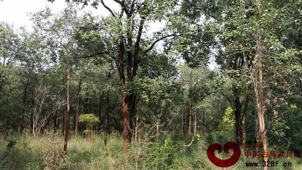 雅典红木印度建小叶紫檀种植基地